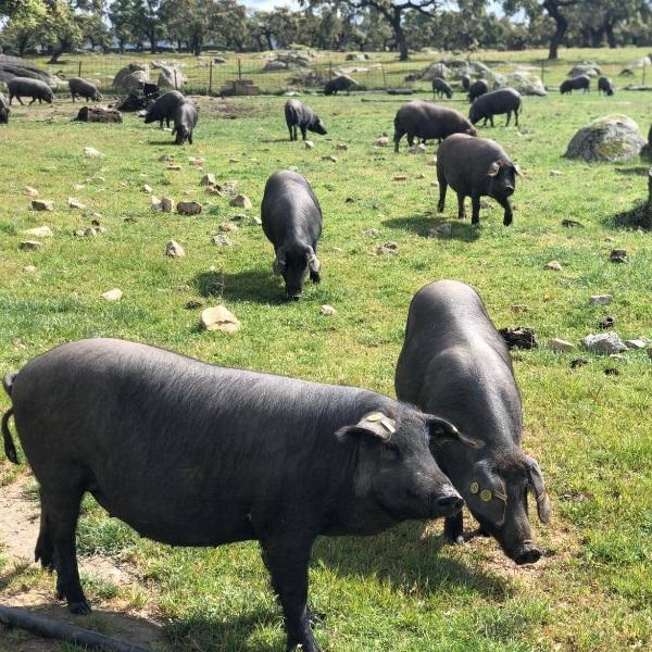 Iberico Schweinefleisch